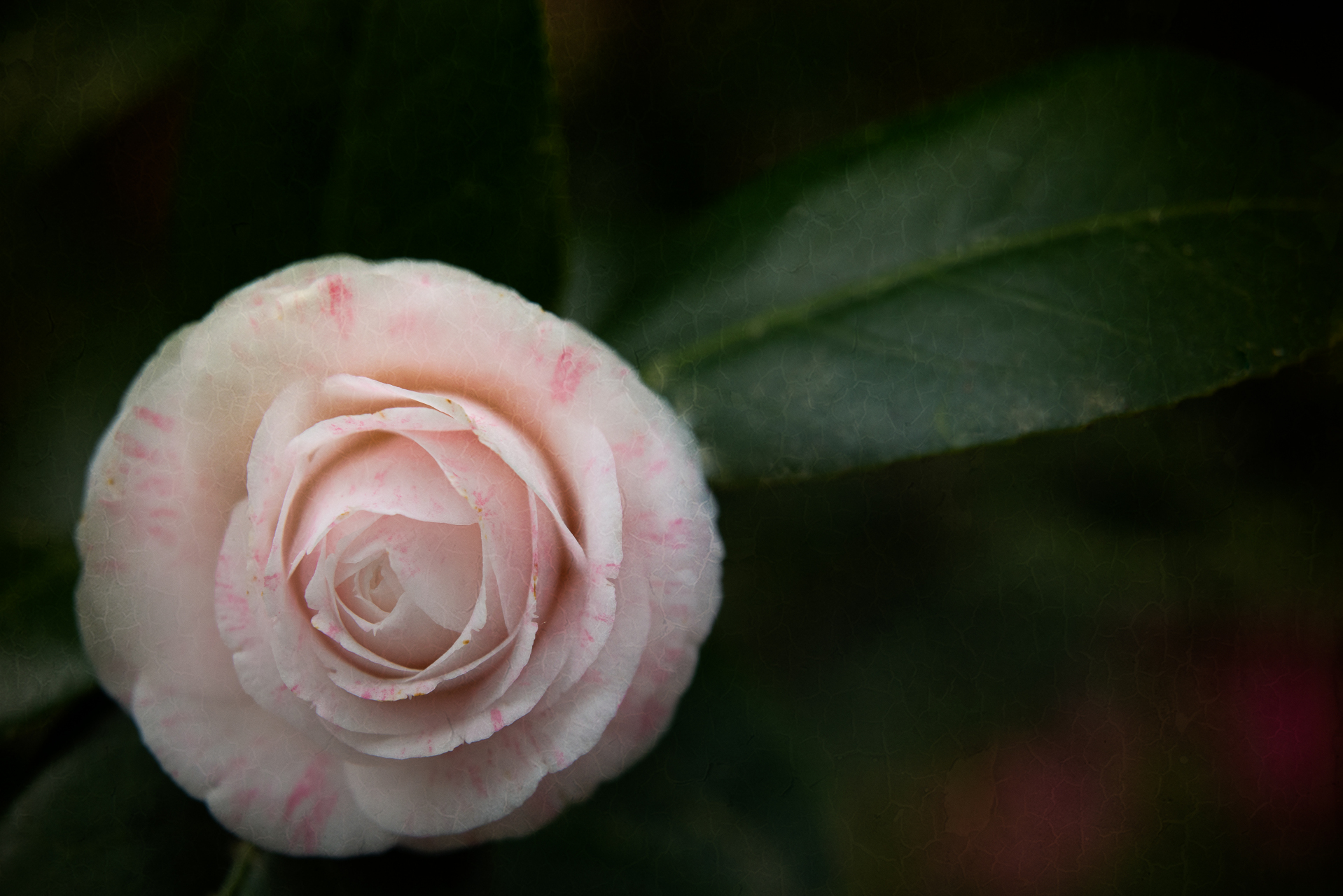 Camellia Flower Blooming in the Spring